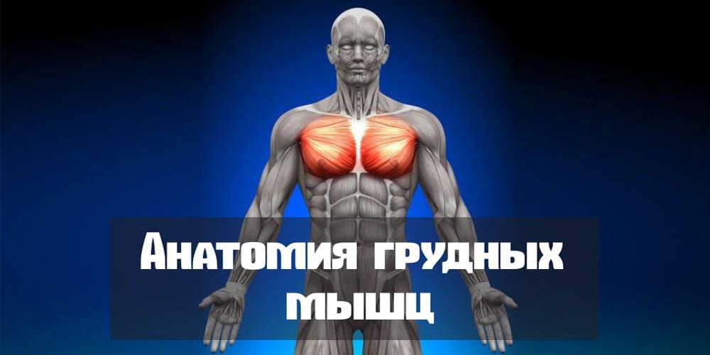 Анатомия грудных мышц