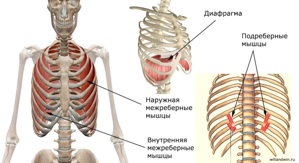 Дыхательные мышцы груди