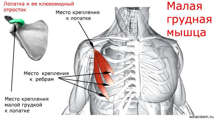малая грудная мышца
