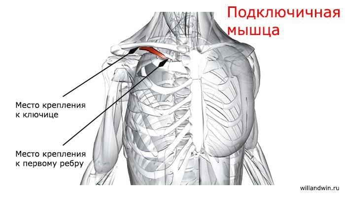 подключичная мышца