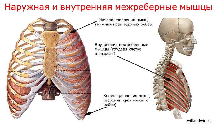 межреберные мышцы