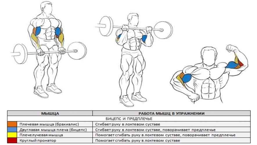 мышцы работающие при сгибание штанги
