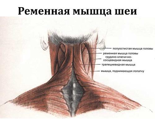 Ременная мышца.