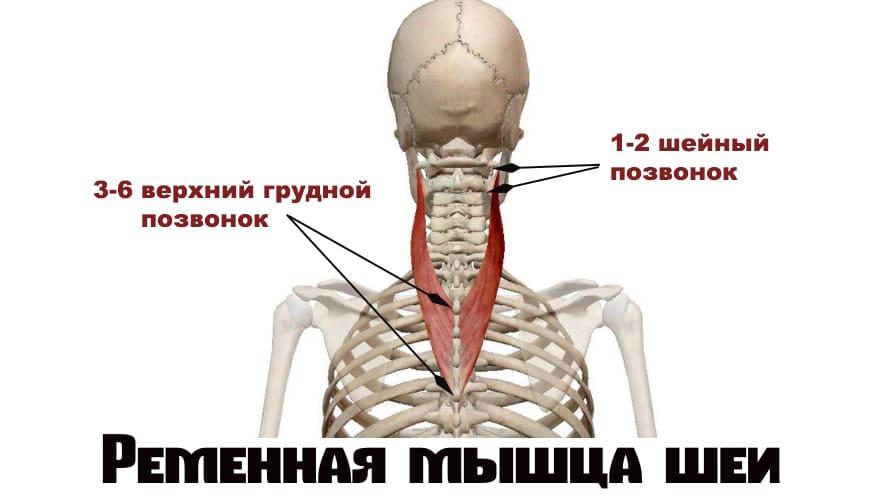 Мышца шеи