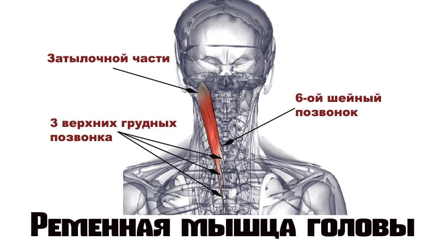 Мышца головы
