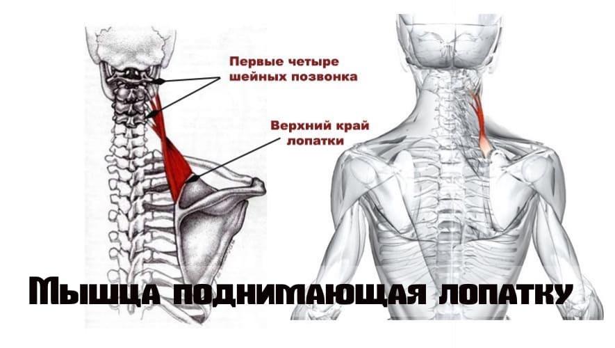 Мышца поднимающая лопатку