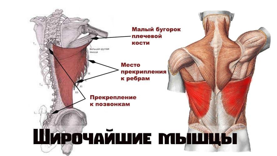 Широчайшие мышцы