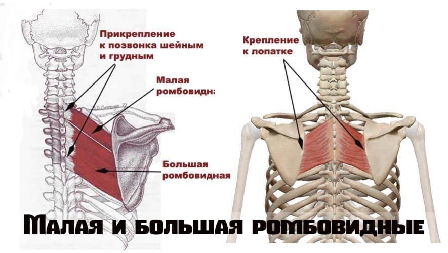 Большая и малая ромбовидные мышцы