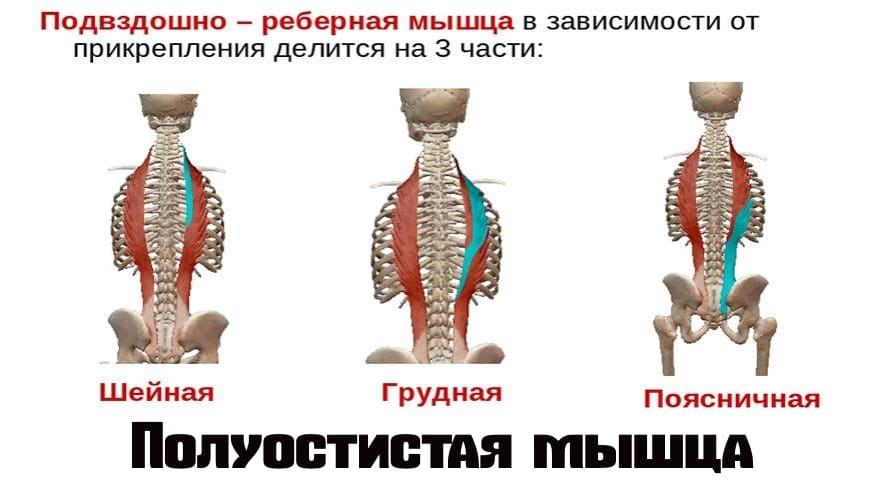 Какие мышцы спины держат позвоночник прямым