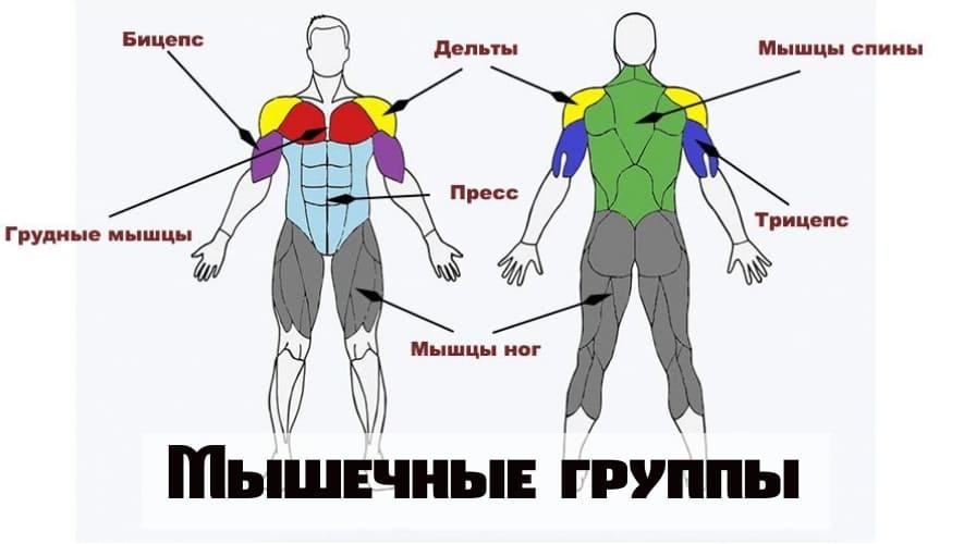 Разбивка мышц на группы