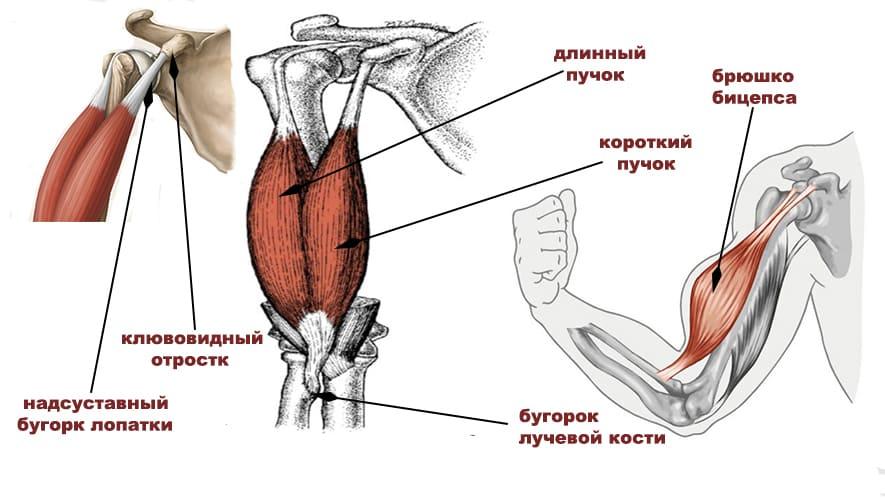 Бицепс(двуглавая мышца плеча)