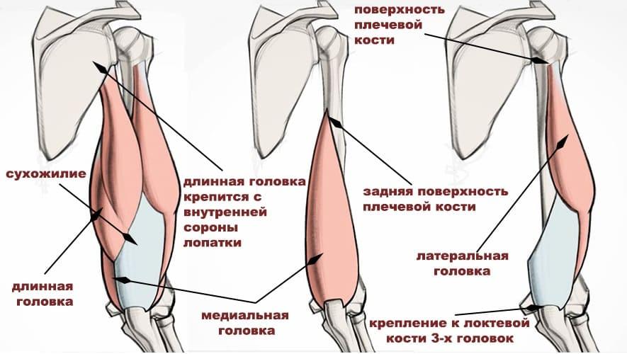 Трицепс(трехглавая мышца плеча)