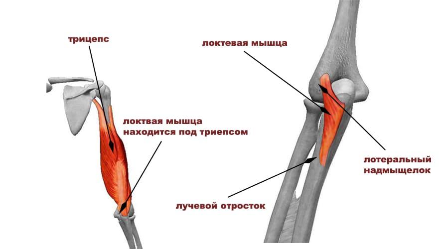 Локтевая мышца