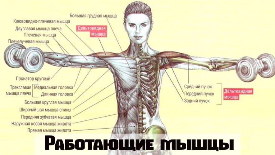 Работающие мышцы при Разведение гантелей в стороны