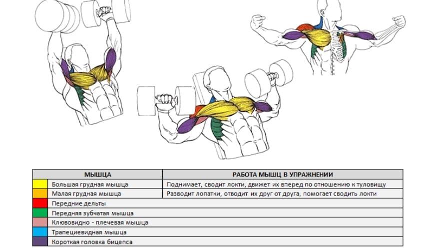 Работающие мышцы при жиме лежа гантелей
