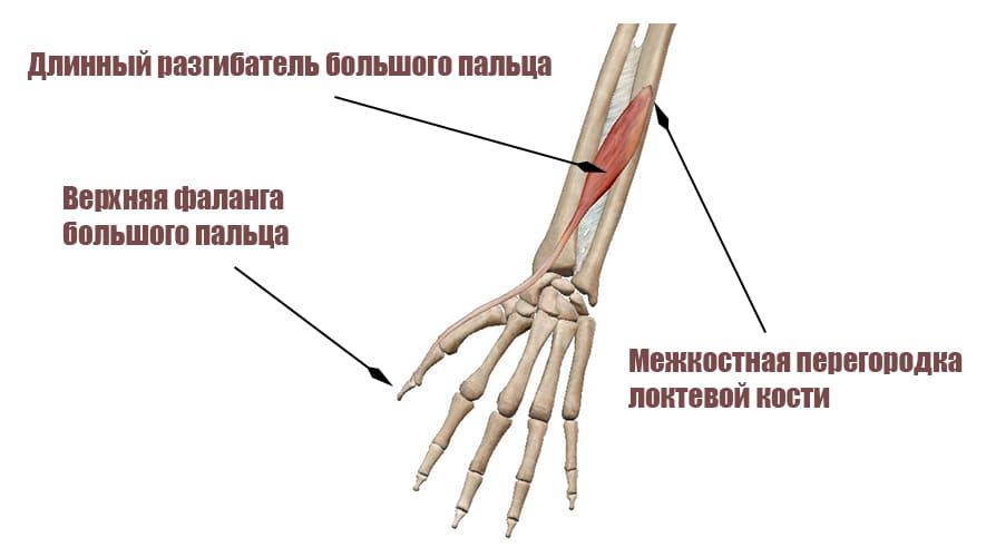 Длинный разгибатель большого пальца