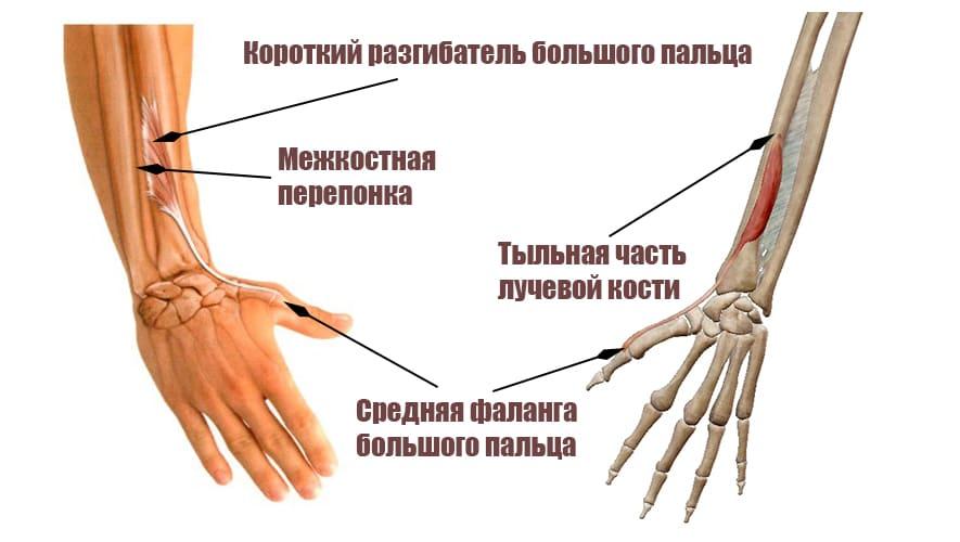 Короткий разгибатель большого пальца