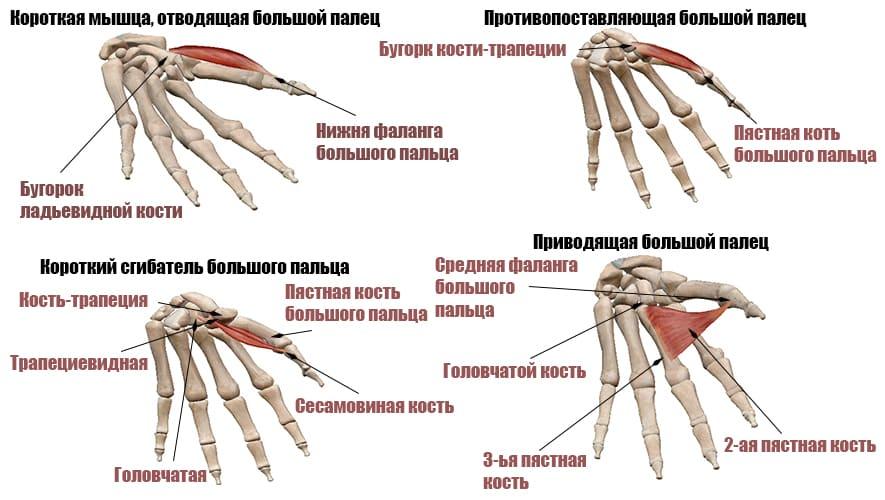 Мышцы большого пальца