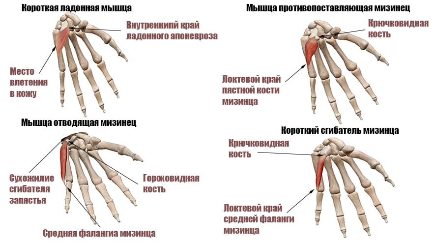 Мышцы мизинца