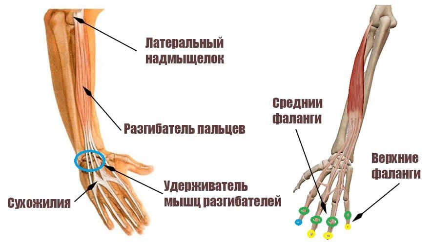 Разгибатель пальцев