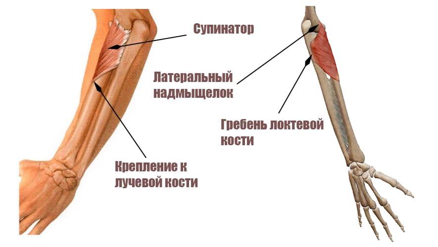 Супинатор