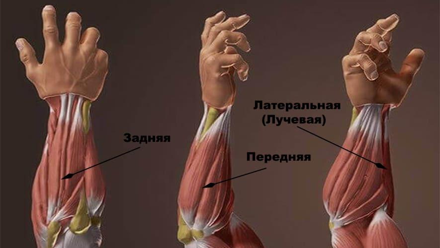 Мышцы рук мышцы предплечья