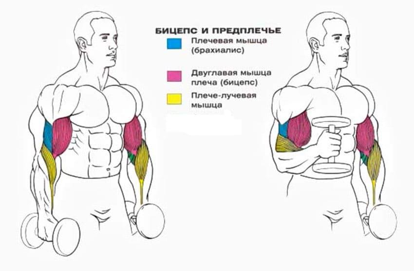 мышцы работающие в молотках с гантелями