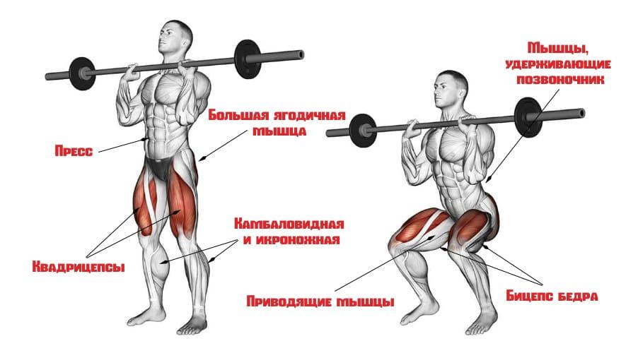 Мышцы, работающие при фронтальных приседаниях