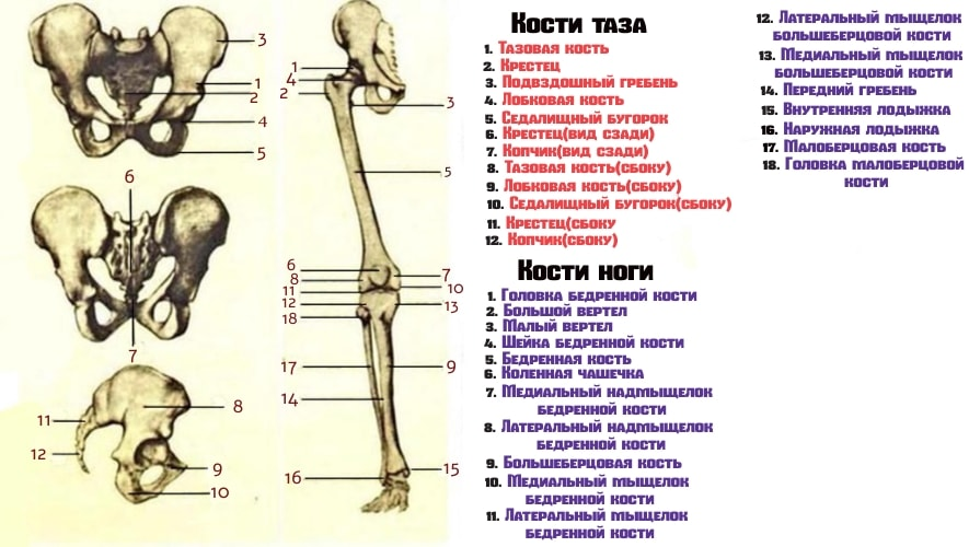 Анатомия скелетных костей нижней конечности
