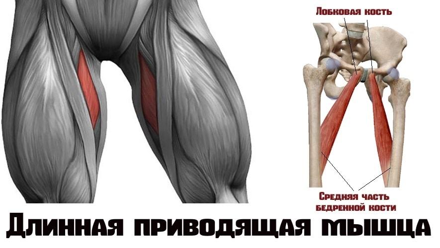 Длинная приводящая мышца