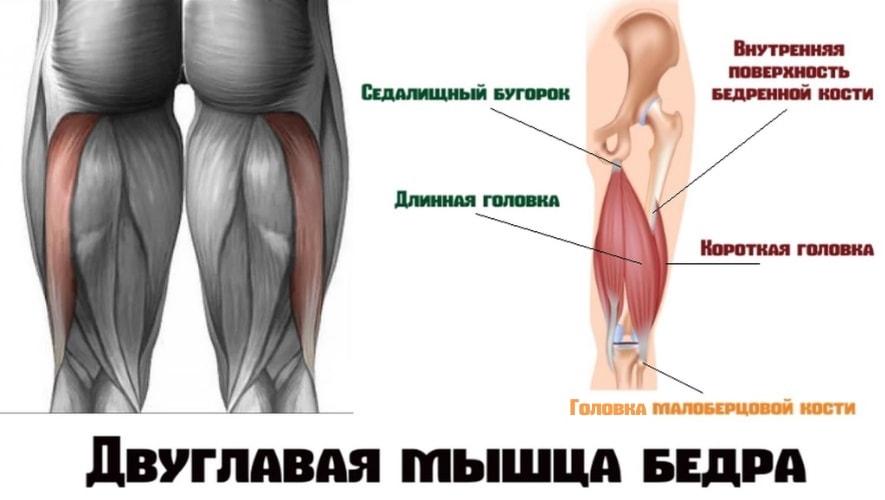 Двуглавая мышца(бицепс бедра)