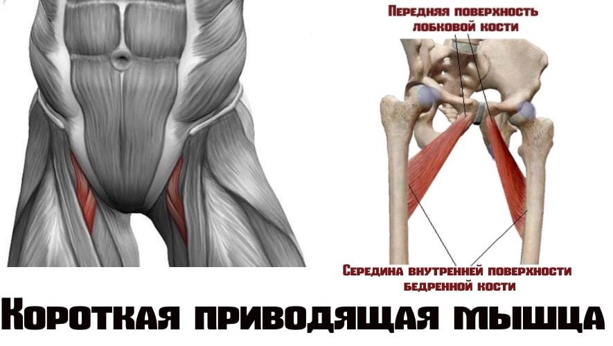 Короткая приводящая мышца