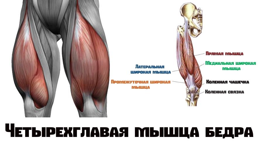 Четырехглавая мышца бедра(квадрицепс)