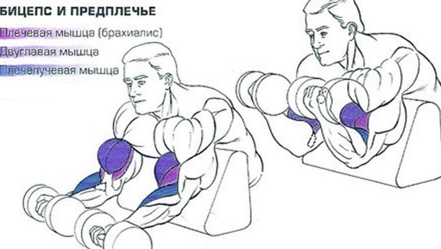 Какие мышцы задействует сгибание рук на скамье Скотта