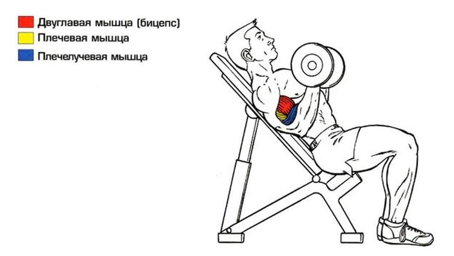 Сгибание рук на наклонной скамье работающие мышцы