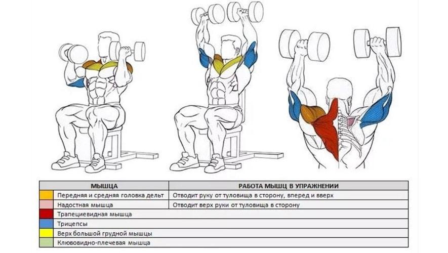 Какие мышцы задействует жим Арнольда