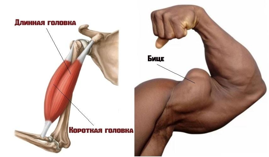 Двуглавая мышцы плеча(бицепс)