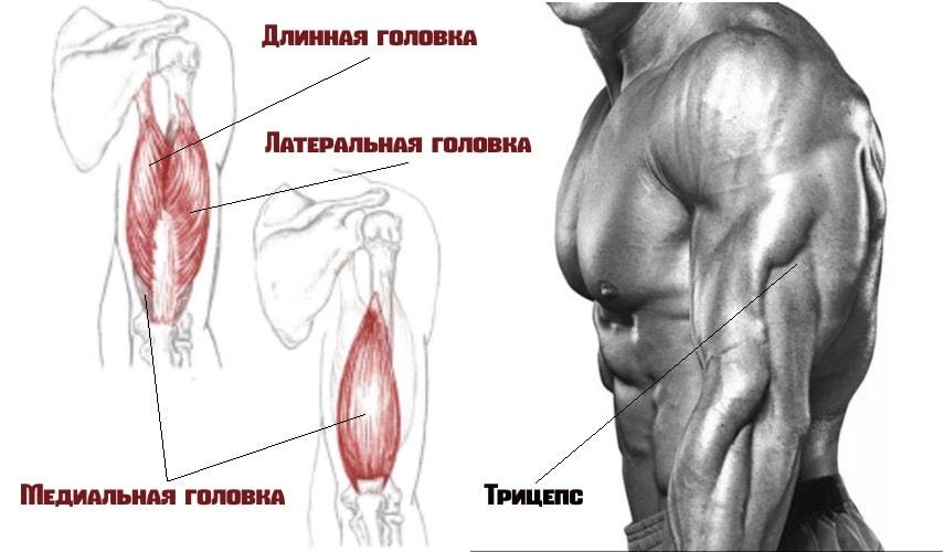 Трехглавая мышца плеча(трицепс)