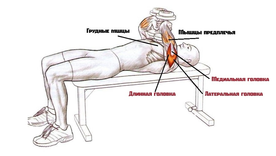 Жим Тейта работающие мышцы