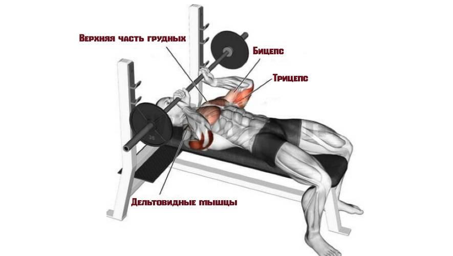 Какие мышцы задействует калифорнийский жим