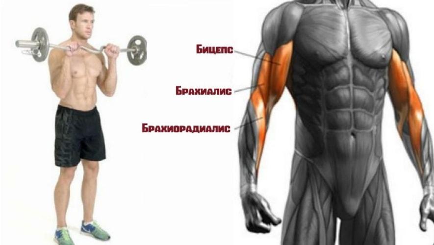 Сгибание рук обратным хватом работающие мышцы