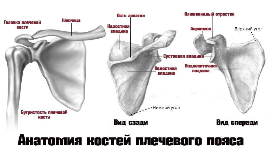 Анатомия костей плечевого пояса