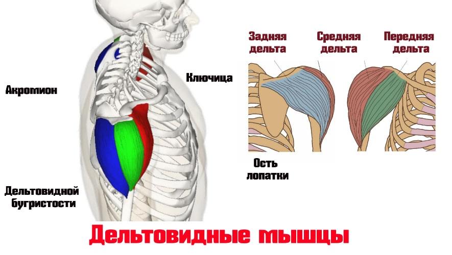 Дельтовидные мышцы