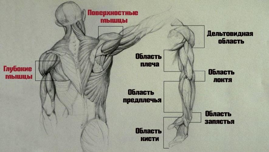 Разделения мышц плечевого пояса