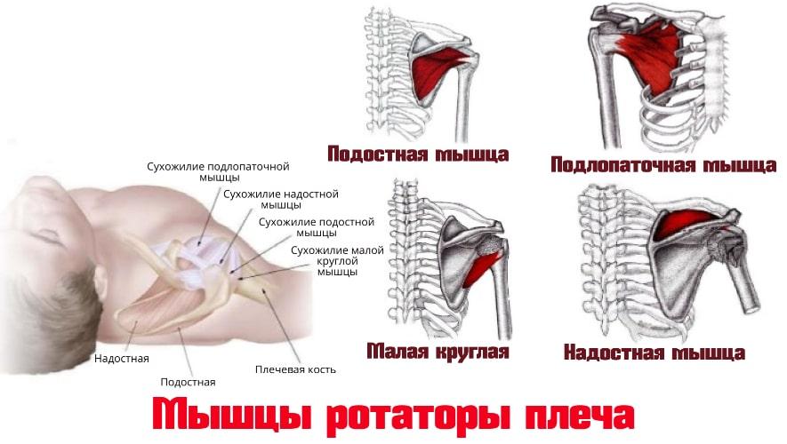 Мышцы ротаторы