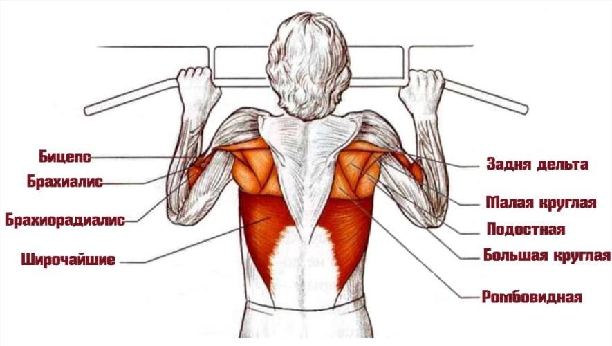 Негативные подтягивания работающие мышцы